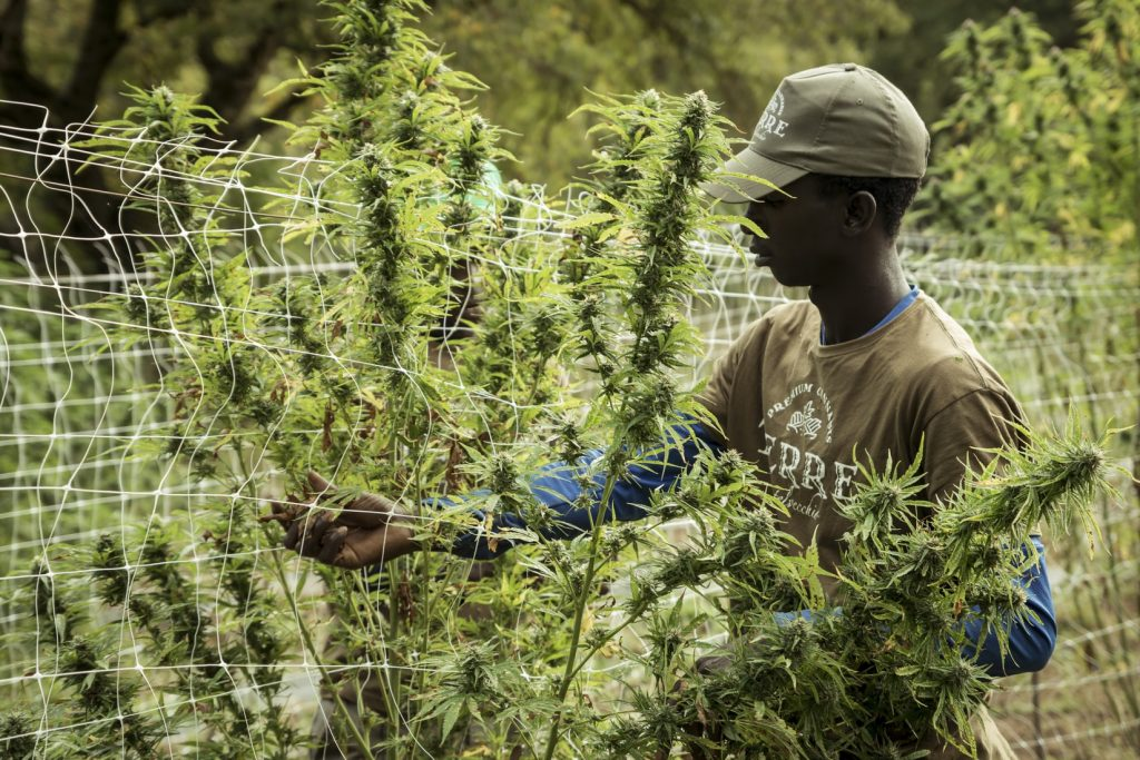 Man tending to outdoor cannabis plants. Sexing marijuana plants.